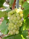 Chardonnay grappe