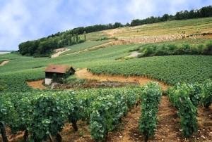 meursault vignoble